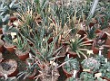 22 Gasteria collection. pulchra