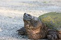Snapping Turtle #14