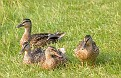 Mallard Hen and Young Sunning Themselves