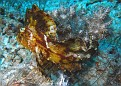 Brown Leaf Scorpionfish