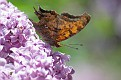 Comma on Lilac