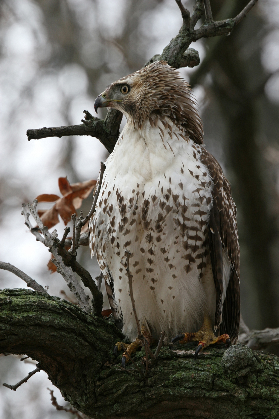 Juvenile Red Tailed Hawk #2