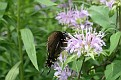 Spicebush Swallowtail on Bergamot