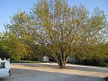 Here is the Swamp Maple in (Spring)  April 2006