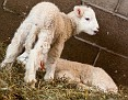 S12 Lambs-10