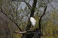 Spring Egret #3
