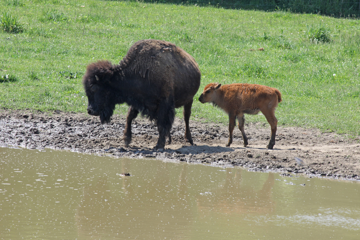 Bison and Calf #20