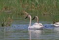 Trumpeter Swans #8