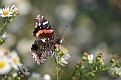 Red Admiral on Wild Asters #3