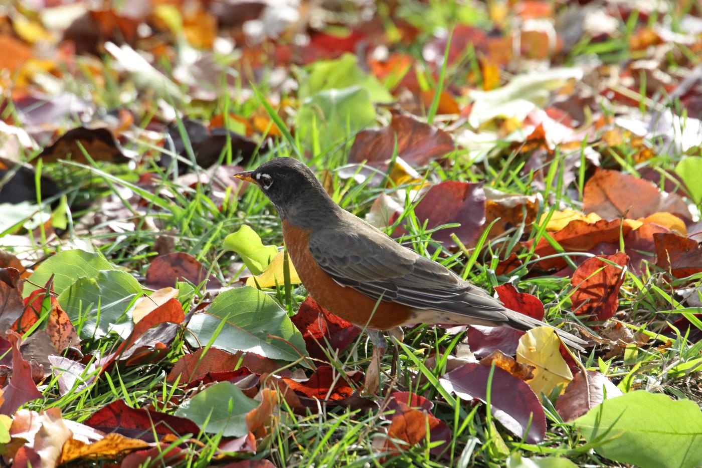 Robin #12