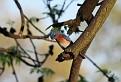Male Bluebird #32
