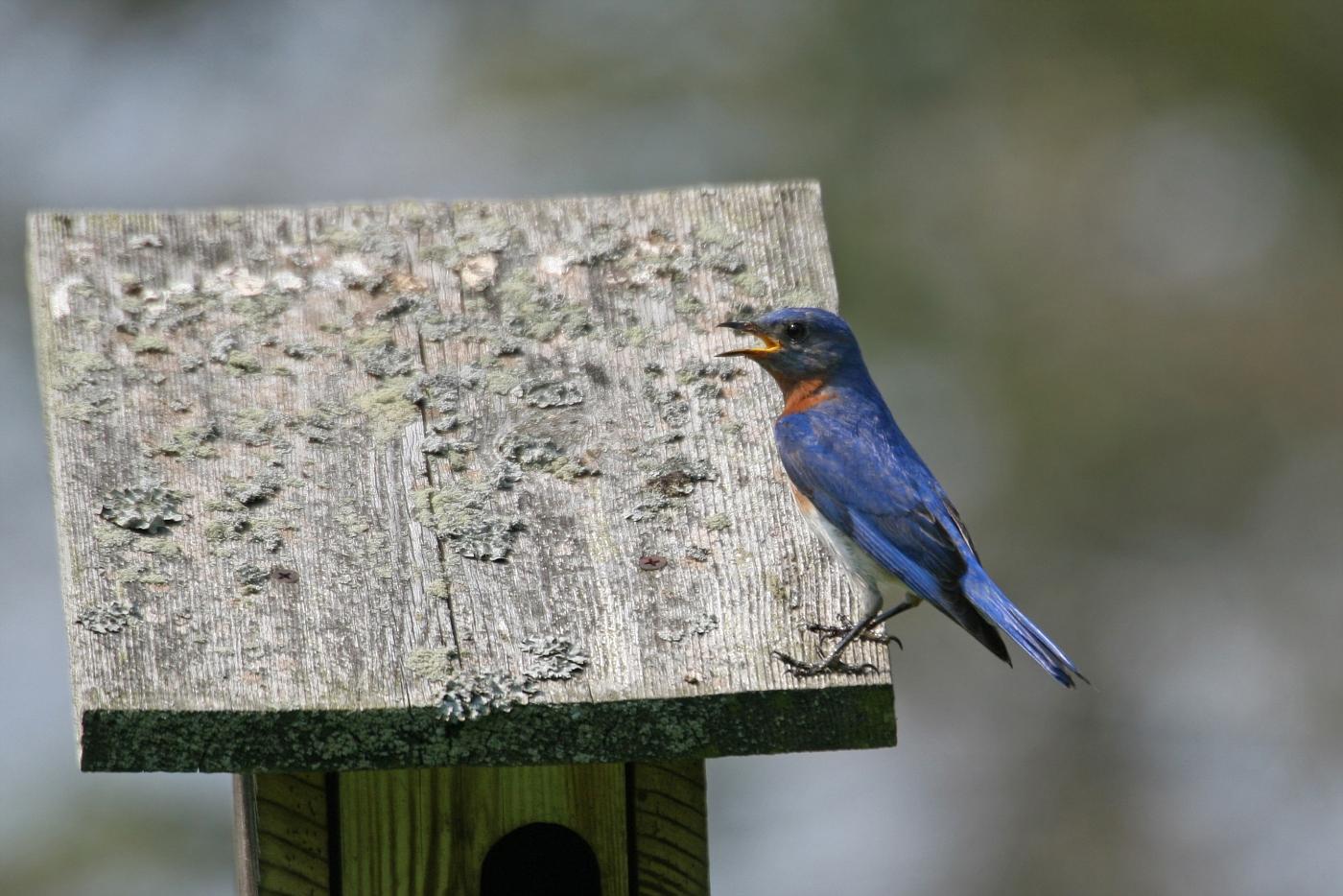 Male Bluebird #12
