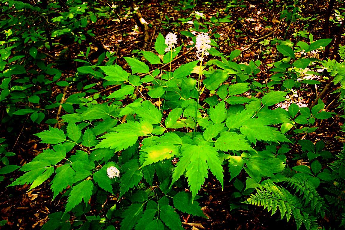 meadowsweet wild 5 16 04 -2