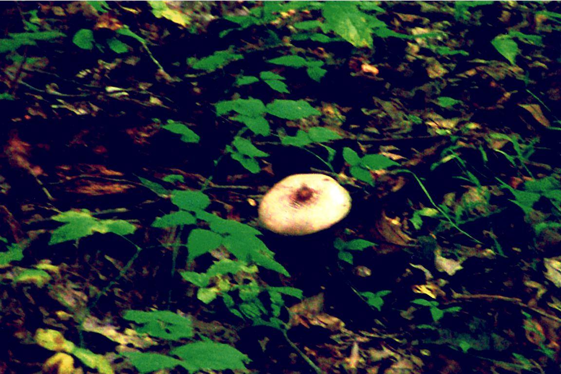 mushroom 9 17 03 -6b