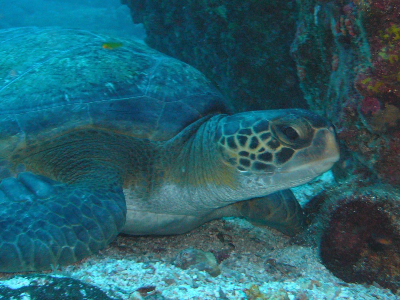 Uh, turtle..okay, Green Turtle about 24 inches around