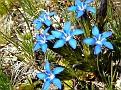 Cool Blue Flowers - Zermatt