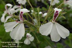 Pelargonium dichondrifolium