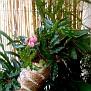 Begonia carolineifolia (7)