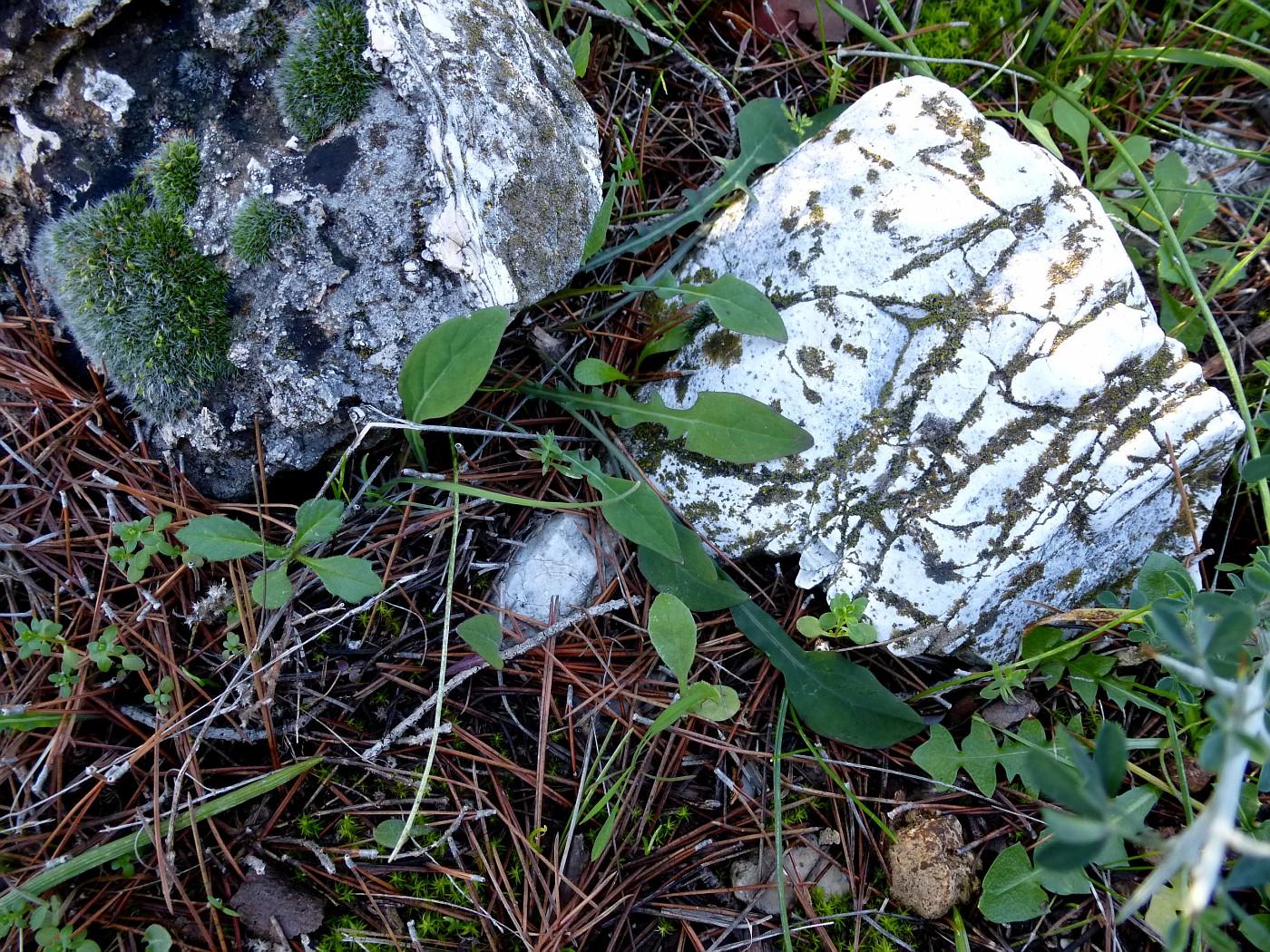 Aetheorhiza bulbosa (1)