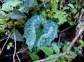Cyclamen cyprium (9)