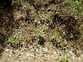 Paeonia mascula (9)