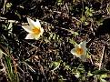 Crocus biflorus subsp  melantherus (2)