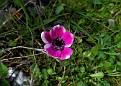 Anemone (10)