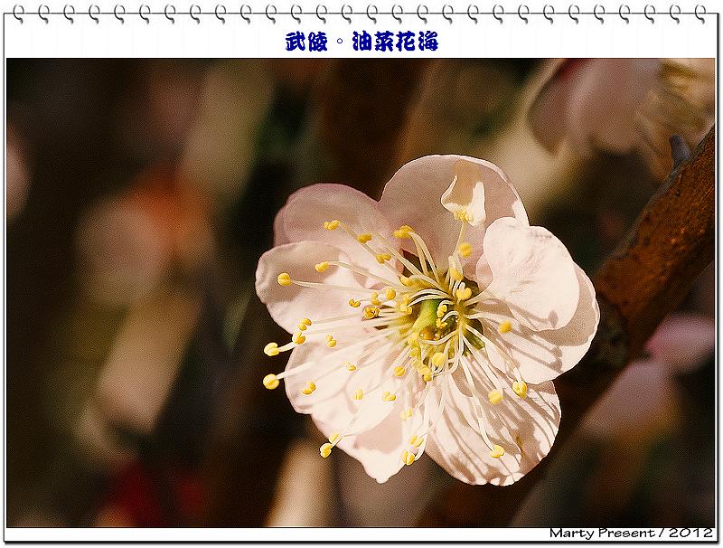 武陵。油菜花