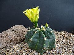 Feocactus setispinus