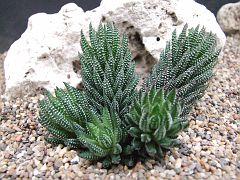 Haworthia reinwardtii v brevicula Trappes Valley..JPG