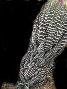 Haworthia reinwardtii Kwa Sandile IB8540.JPG