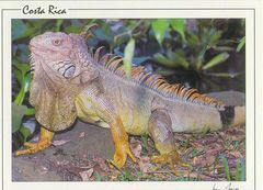 Costa Rica - IGUANA NA