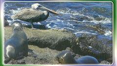 Galapagos - SEA WOLF NA