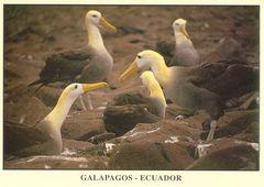 Galapagos - WAVED ALBATROSS NB