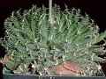 Haworthia arachnoidea