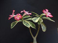 Adenium obesum fa. variegata
