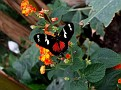 Heleconius doris