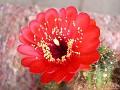 Echinopsis densispina (Lobivia)