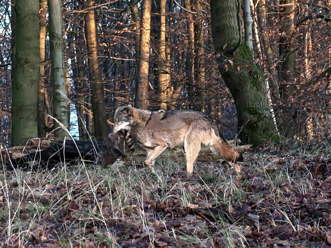 Wolf mit Beute bei Hameln