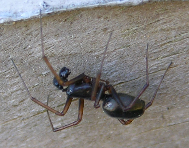 Microlinyphia pusilla male