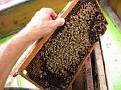 Demonstrating Honey Bee Biology to 4H Fair on-lookers.