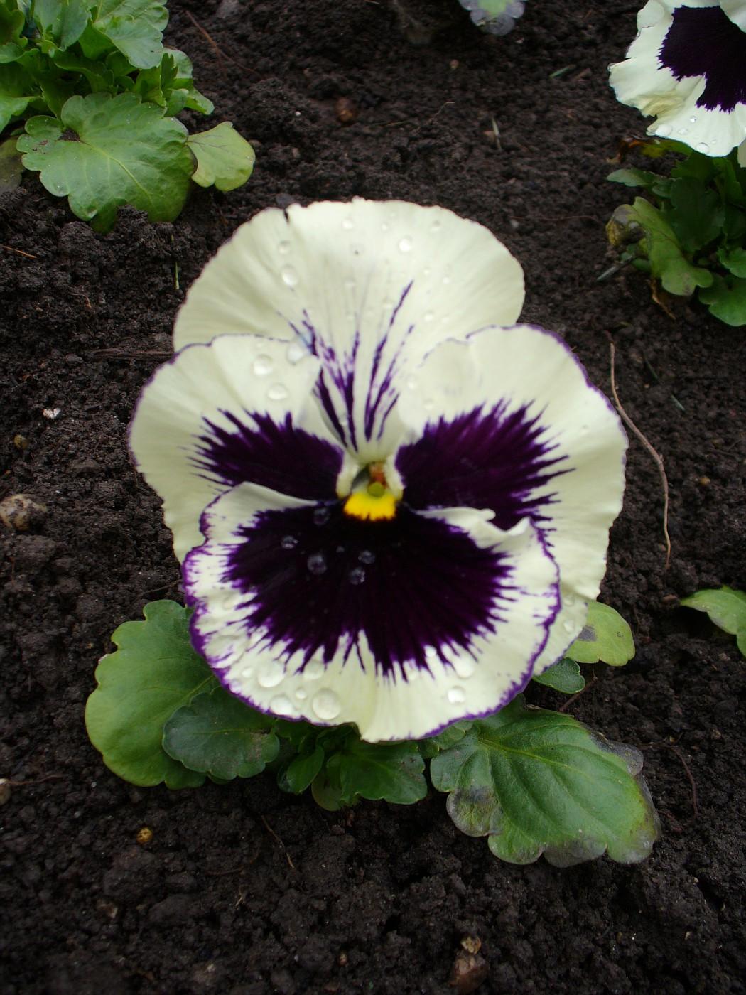 white pansy flower wwwimgkidcom the image kid has it