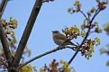 Tennessee Warbler #4