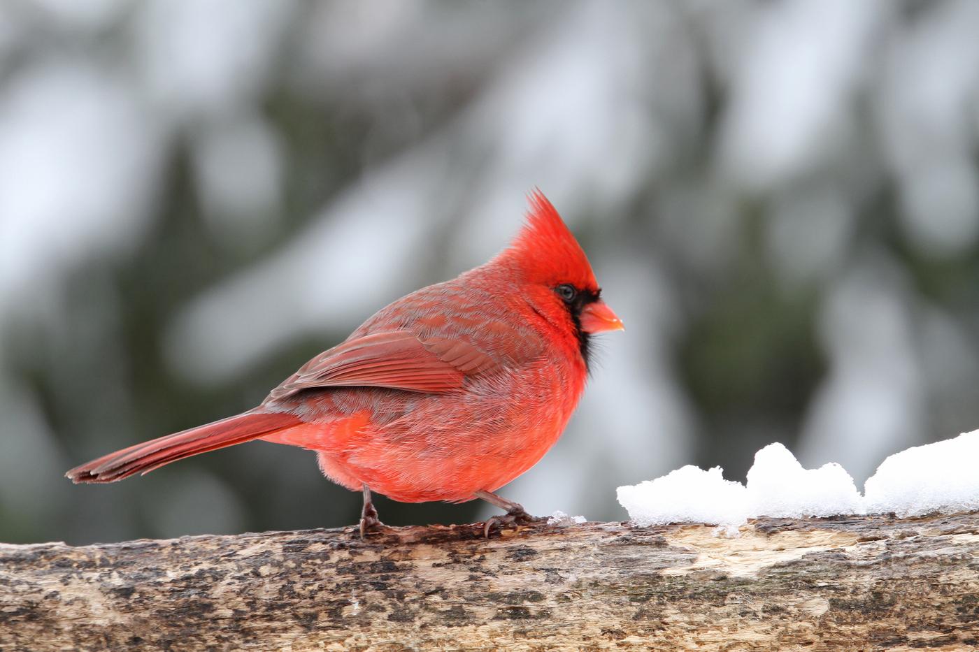Cardinal #22