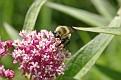 Bumblebee on Milkweed 2