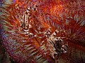 Zebra Crab on Fire Urchin