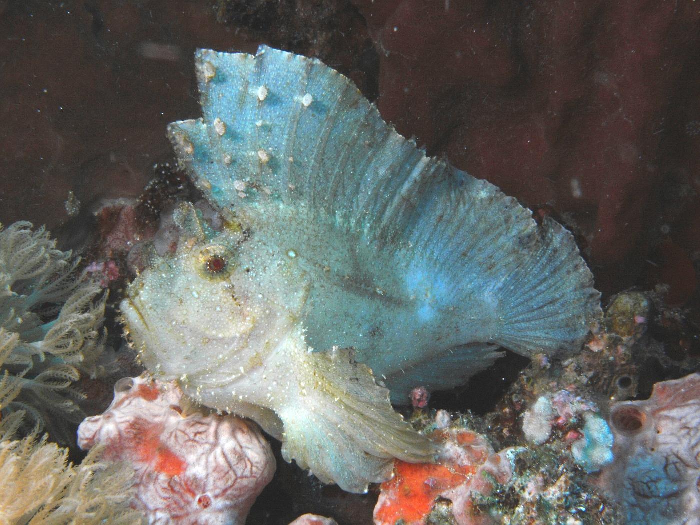 Leaf scorpionfish2