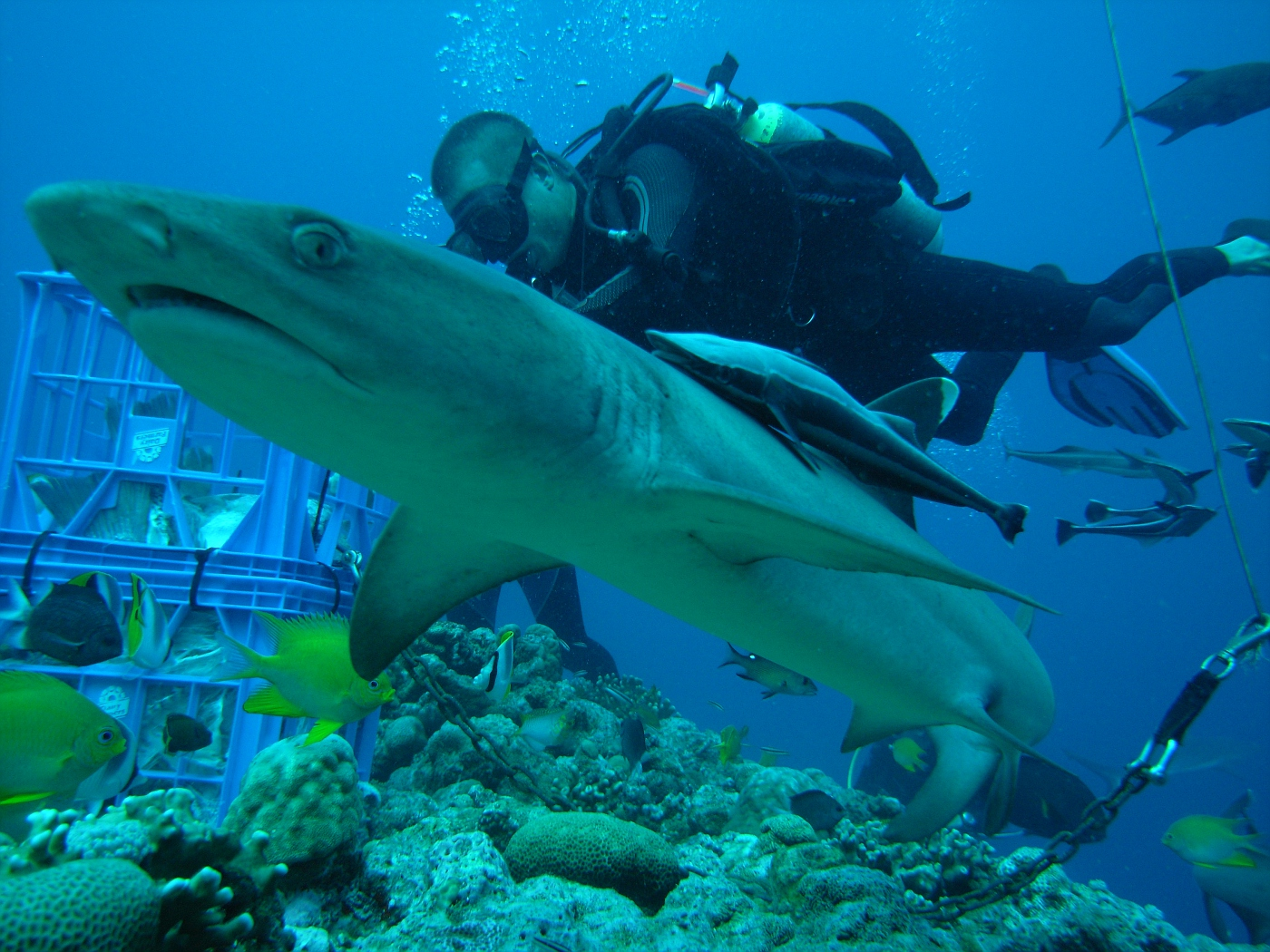 """White Tip at Shark """"Attract"""" with dive guide"""