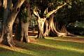 Moreton Bay Fig Trees @ Gawler