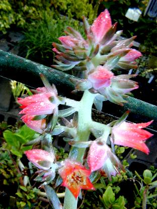 Echeveria dactylifera in flower